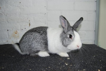 hollanderchinchilla